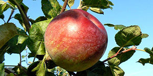 Яблоня «Алеся»