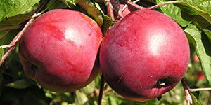 Яблоня «Антей»