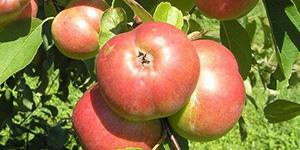 Яблоня «Белорусское сладкое»