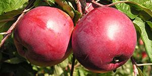 Яблоня «Дарунак»