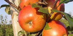 Яблоня «Фридом»