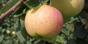 Яблоня «Юбиляр»