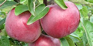 Яблоня «Имант»