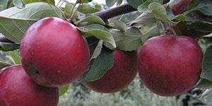 Яблоня «Коваленковское»