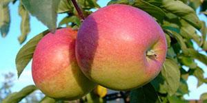 Яблоня «Память Сюбаровой»