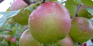 Яблоня «Лучезарное»