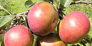 Яблоня «Весялина»
