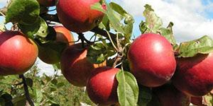 Яблоня «Заславское»