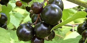 Смородина черная «Белорусская сладкая»