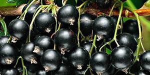 Сорт смородины «Титания»