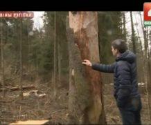 Жук-короед атакует Печерский лесопарк