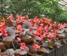 В теплицах «Могилевзеленстроя» высеяли первые семена цветов для озеленения города